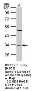 Anti-BST1 Rabbit Polyclonal Antibody