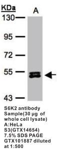 Anti-S6K2 Rabbit Polyclonal Antibody