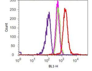 Anti-S6K1 Rabbit Monoclonal Antibody [clone: B12H16L8]