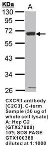 Anti-CXCR1 Rabbit Polyclonal Antibody