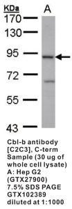 Anti-CBLB Rabbit Polyclonal Antibody