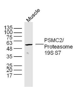 Mouse muscle lysates probed with Proteasome 19S S7 Polyclonal Antibody, unconjugated (bs-9349R) at 1:300 overnight at 4°C followed by a conjugated secondary antibody at 1:10000 for 90 minutes at 37°C.