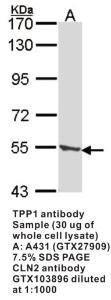 Anti-TPP1 Rabbit Polyclonal Antibody