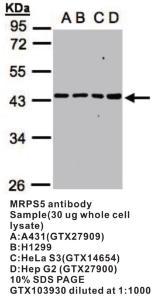 Anti-MRPS5 Rabbit Polyclonal Antibody