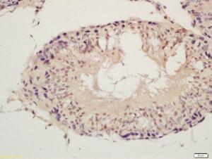 Anti-SPDYA Rabbit Polyclonal Antibody