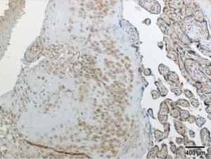 Anti-FAM127A Rabbit Polyclonal Antibody