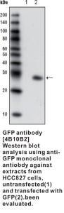 Anti-GFP Mouse Monoclonal Antibody