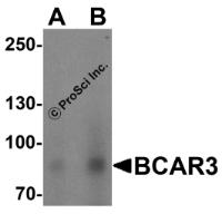 Western blot analysis of BCAR3 in HeLa cell lysate with BCAR3 antibody at (A) 1 and (B) 2 ug/mL.