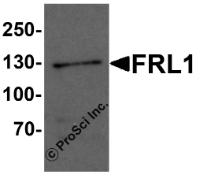 Western blot analysis of FRL1 in EL4 cell lysate with FRL1 antibody at 1 ug/mL.